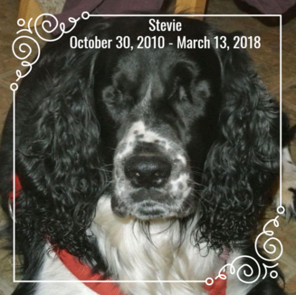 This is an image of Stevie. He's a black and white dog with no eyes. Over the image is the text Stevie October 30, 2010 to March 13, 2018.